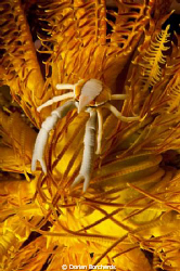 A Squat Lobster on a yellow Chrinoid. by Dorian Borcherds 